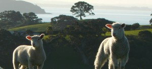 lambs on New Zealand coast