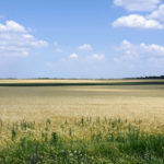 wheat field in Ukraine - matching their flag