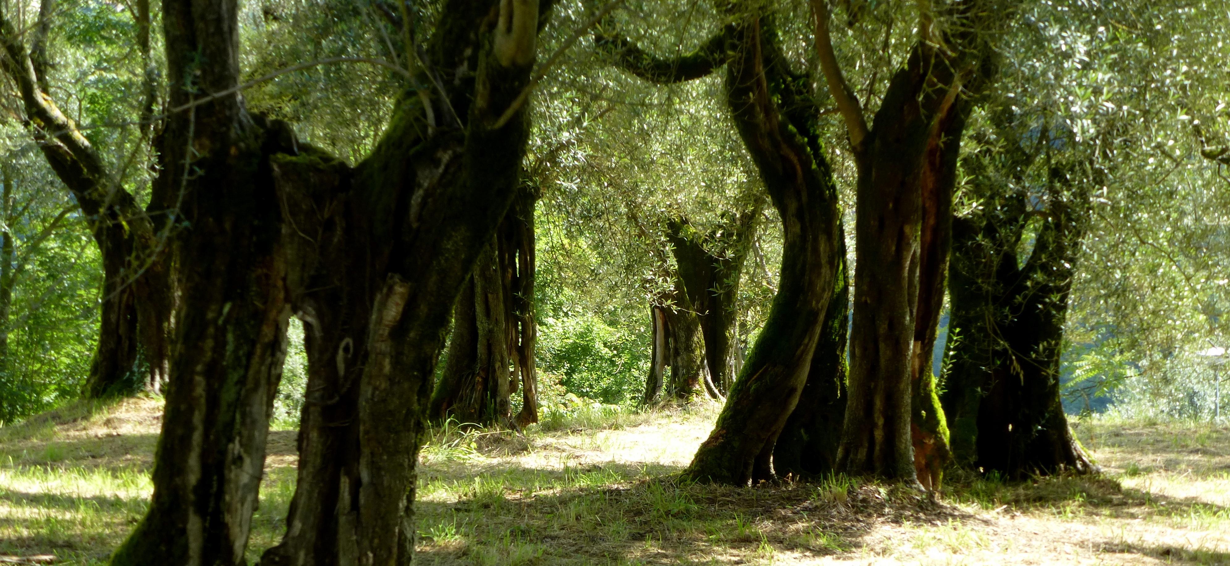 mature olive grove in Perugia